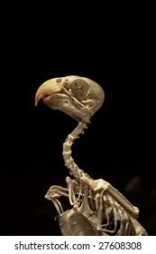 Ancient parrot skeleton