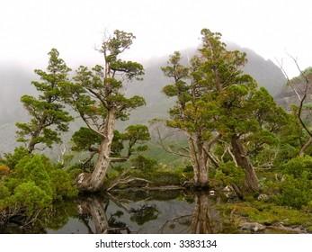 Ancient Pencil Pines beside pool near Cradle Mountain, Tasmania, Australia