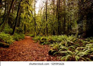 Ancient Rain Forest in Vancouver Island  series - Beautiful pathway  in Ancient Rain Forest 2