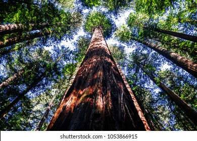 Ancient redwood in the forest. Sunlight through the branches. A view to the top.