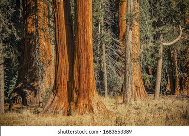 Ancient Sequoia Trees i California Sierra Nevada Mountains. Giant Sequoia Redwood. United States of America.