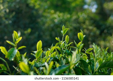 Ancient tea tree in the rainforest