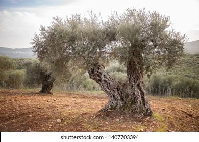 Ancient textured olive tree, olive tree plantation