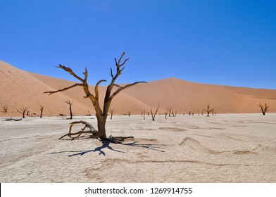 An ancient tree bakes in Deadvlei, Sossusvlei Park, Namibia.