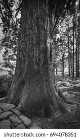 An ancient tree at Kumano Kodo in Kansai, Japan. Kumano Kodo refers to a network of pilgrimage trails through the southern Kansai region.
