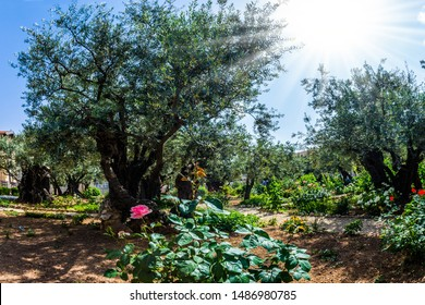 The ancient and well-kept Garden of Gethsemane in holy Jerusalem. Very ancient olives grow in the Garden of Gethsemane. The concept of historical, religious and ethnographic tourism