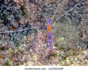 Ancylomenes pedersoni,Pederson's shrimp, is a species of cleaner shrimp. genus Ancylomenes