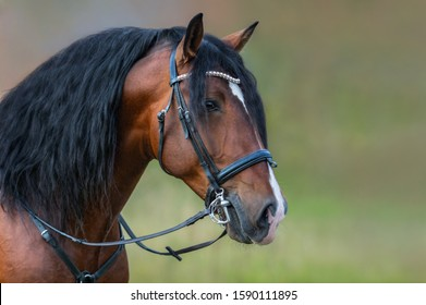 Andalusian bay horse with long mane in bridle on nature background.