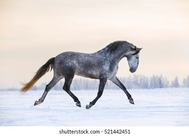Andalusian grey horse in winter sunset