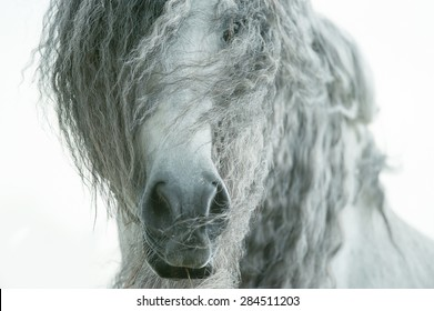 andalusian horse face closeup with long curvy forelock and mane