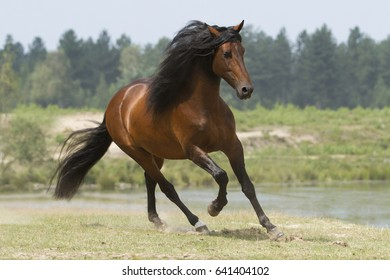 Andalusian horse galloping near a lake in the Netherlands