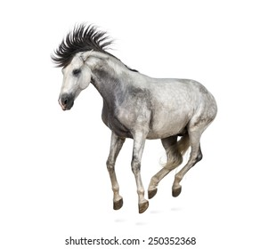 Andalusian horse kixking out