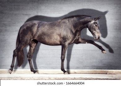 Andalusian horse performs Spanish walk