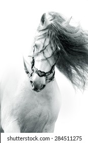 andalusian horse portrait in action wearing the authentic spanish bridle with long curvy mane. monochrome portrait