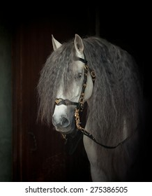 andalusian horse portrait in authentic bridle on dark background