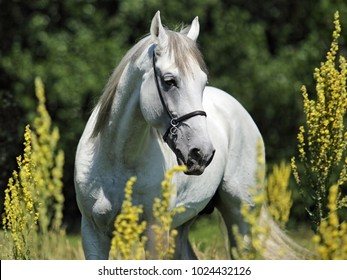 Andalusian horse portrait of white stallion