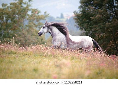 Andalusian horse running in a flowerfield