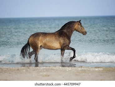 andalusian horse in the sea