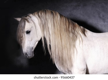 andalusian horse studio portrait