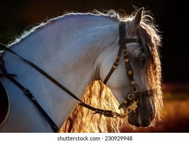 Andalusian stallion on sunset