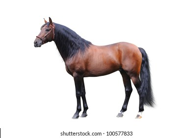 Andalusian stallion on a white background