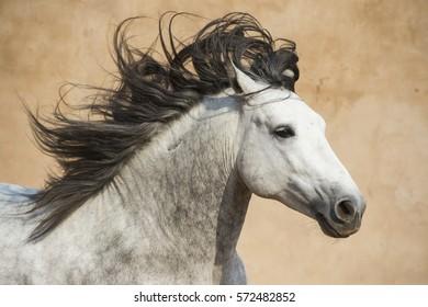 Andalusian stallion - Pura Raza Espanol