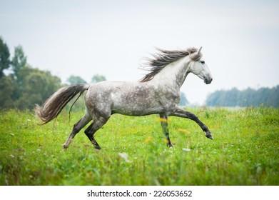 Andalusian stallion running on the pasture in autumn