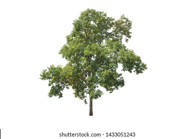 Andaman Redwood,Burmese Rosewood,Amboyna,Burma Paduak tree isolated on white background.