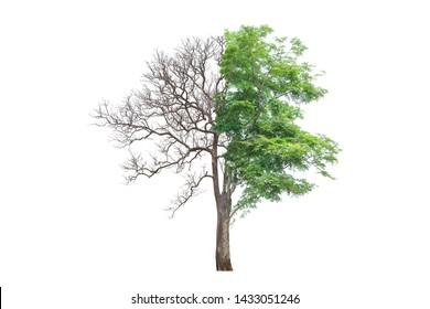 Andaman Redwood,Burmese Rosewood,Amboyna,Burma Paduak tree isolated on white background.