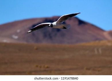 Andean black and white sea gull in flight infant of mountain scenery, High altitude, Andes Mountains, Bolivia