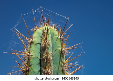 Andean cactus detail with cobwebs under blue sky