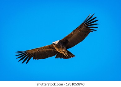Andean condor flying over the Colca Canyon in Peru, an important bird in the religious beliefs of the Andean communities