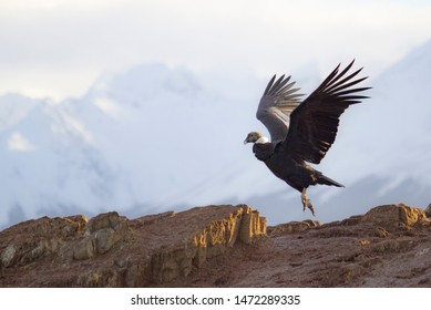 Andean condor lands on the island of the birds in the Beagle Channel, Ushuaia, Argentina. July 2019