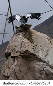Andean condor spreading wings in captivity.