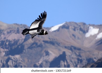 Andean condor (Vultur gryphus) in The Colca Canyon, Arequipa, Peru