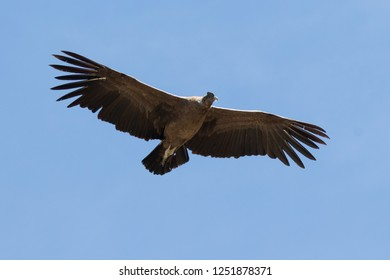 Andean Condor, Vultur gryphus in flight over the Andean Mountains