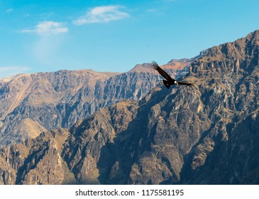 The Andean Condor (Vultur Gryphus) flying above the Andes Mountain Range nearby the Colca Canyon, Arequipa, Peru.