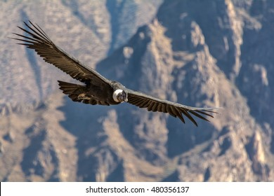 Andean condor (Vultur gryphus), one of the largest flying birds in the world, flying over the Colca Canyon in Peru on a background of mountains