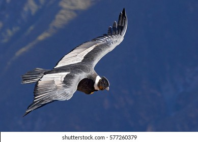 The Andean condor (Vultur gryphus) is a South American bird in the New World vulture family, Colca Canyon, Arequipa region, Peru.