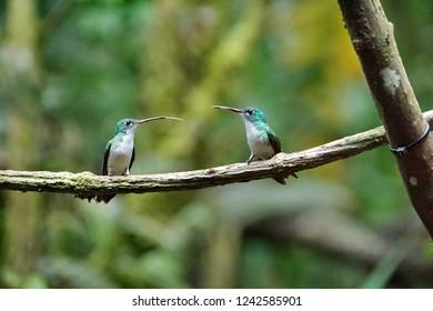 Andean emerald (Agyrtria franciae) hummingbirds perched on a branch in Mindo, Ecuador