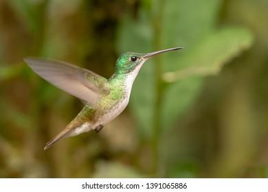 Andean Emerald Hummingbird (Amazilia franciae) - Female Hovering