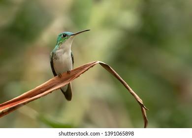 Andean Emerald Hummingbird (Amazilia franciae) - On a Leaf
