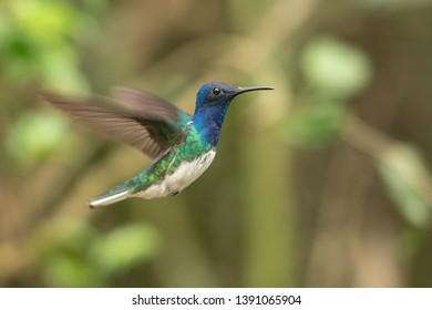 Andean Emerald Hummingbird (Amazilia franciae) - Male Hovering