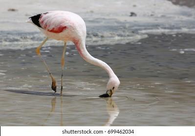 Andean flamingo (Phoenicoparrus andinus) at Laguna Hedionda (Bolivia)