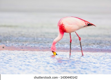 Andean flamingo (Phoenicoparrus andinus) is one of the rarest flamingos in the world. It lives in the Andes mountains of South America.