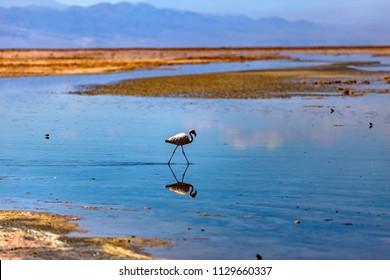 Andean Flamingos in Lake Chaxa, San Pedro de Atacama, Chile