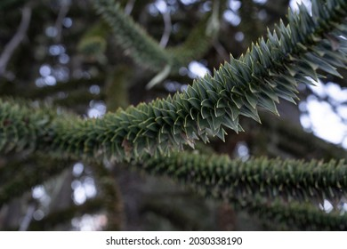 Andean flora. Selective focus on an Araucaria araucana, also known as monkey puzzle tree, branch of green sharp leaves.