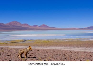 Andean fox, culpeo, Lycalopex Culpaeus, at Lagoon Laguna Brava, high andes mountains in the background, near Paso Pircas Negras pass, Argentina, La Rioja, South America