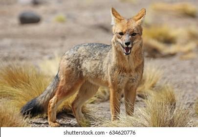 Andean fox (Lycalopex culpaeus) in Siloli desert (bolivia)