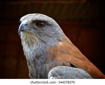 Andean hawk
